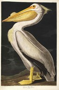 American White Pelican - John James Audubon ( zonder lijst )