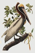 Brown Pelican - Audubon ( zonder lijst )