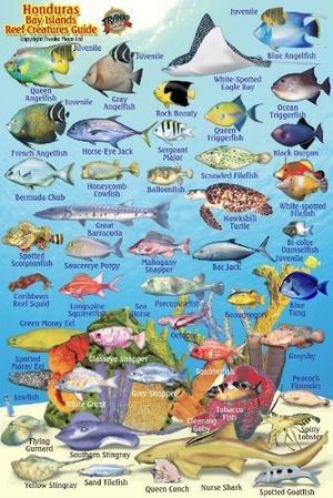 Honduras Fish Reefs Card Franko' S