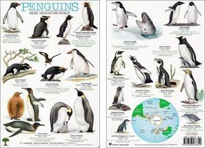 Penguins From Arount The World A4 Lam
